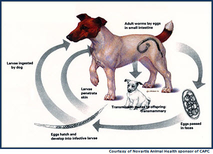 Hookworm Life Cycle in a Dog
